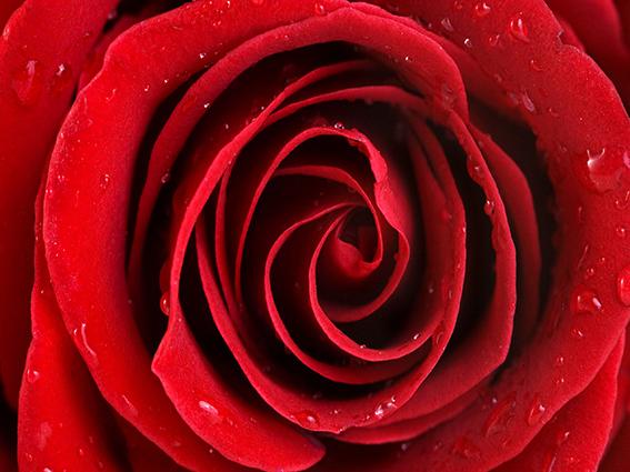 پوستر دیواری گل رز قرمز